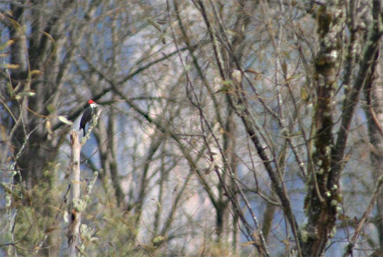 little king blog pileated