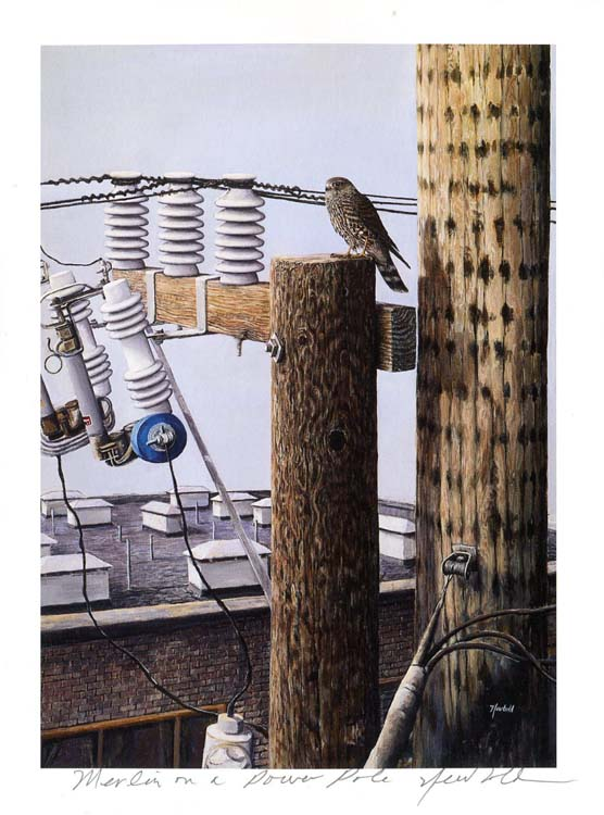 #53 Merlin on a power pole
