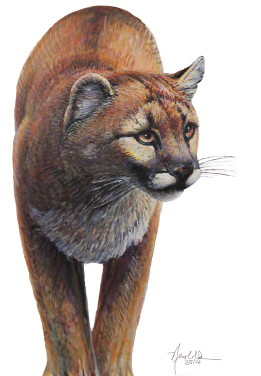 cougar for 9 x 12 Dec 5 2014 for ws