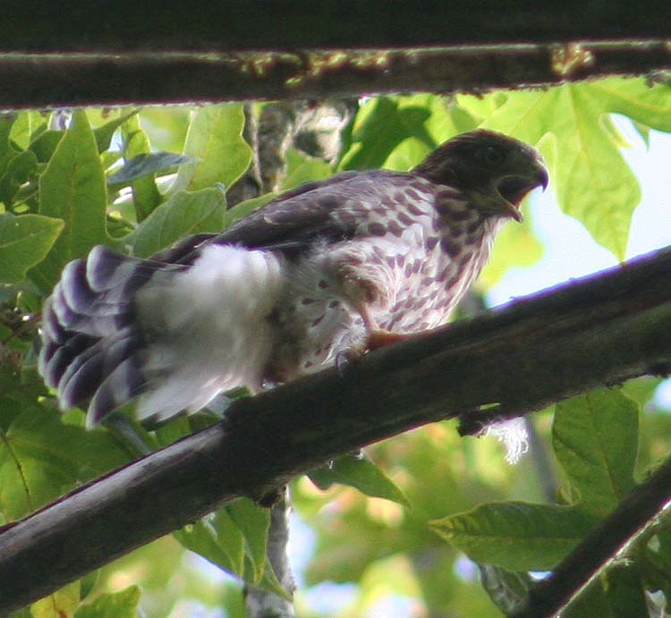 This recently-fledged Cooper's Hawk in the Cheasty canopy this past June is one of an amazing 5 offspring that the Cheasty pair of at least 5 years fledged this year.