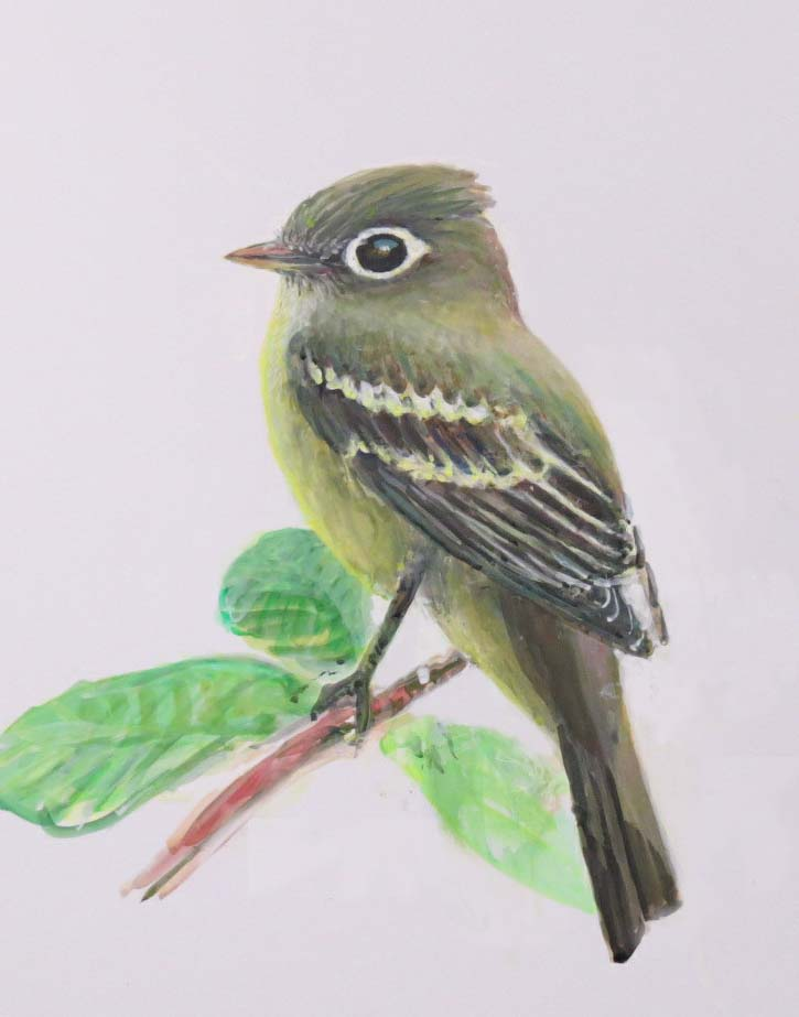 This is a painting of a Pacific-slope Flycatcher I did for the ad. There was an astonishing density of Pac-slopes in Cheasty this last breeding season.