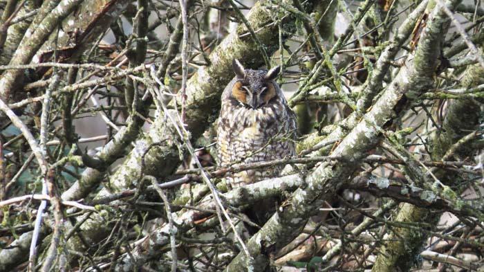 Long-eared Owl for blog