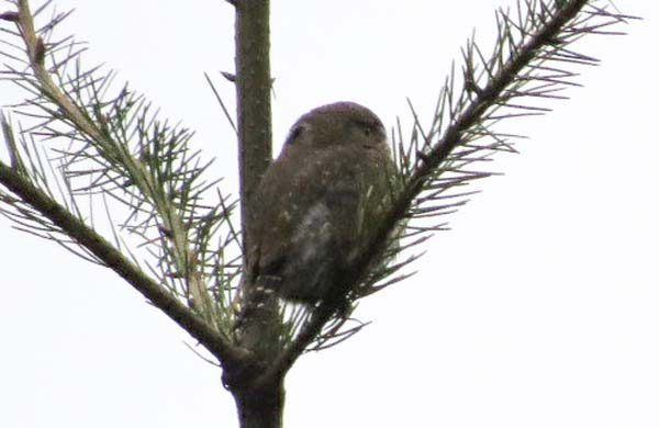 Northern Pygmy Owl for blog