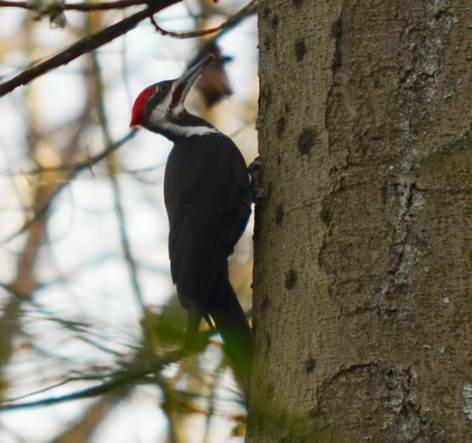 pileated woodpecker mark holland cheasty