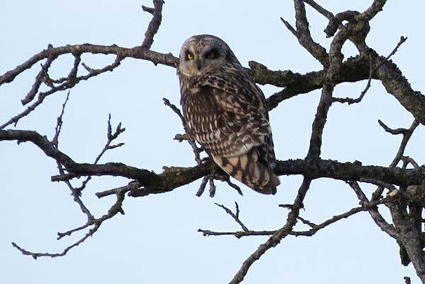 short-eared owl sit 2 for blog