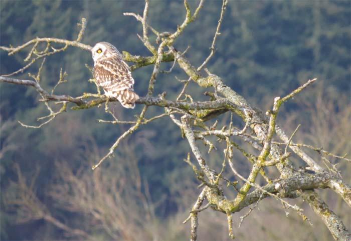 short-eared owl sit1 for blog