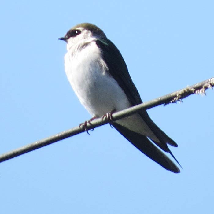 Violet-green Swallow return march 2015 female1 for website