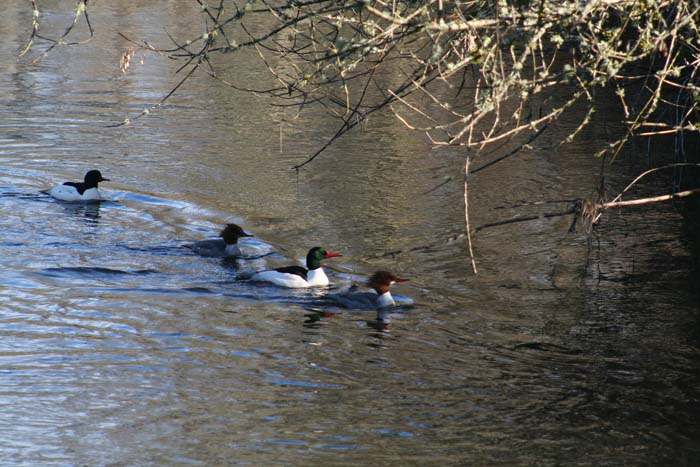 ghwss common mergansers on issaquah