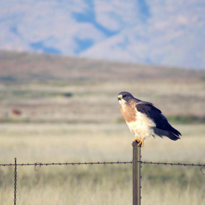 spring visit Swainson's Hawk