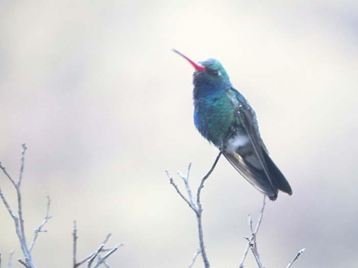 spring visit broard-billed Hummingbird