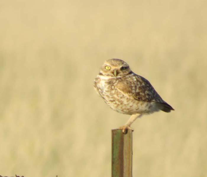 spring visit burrowing owl