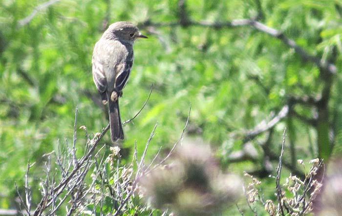 spring visit gray flycatcher