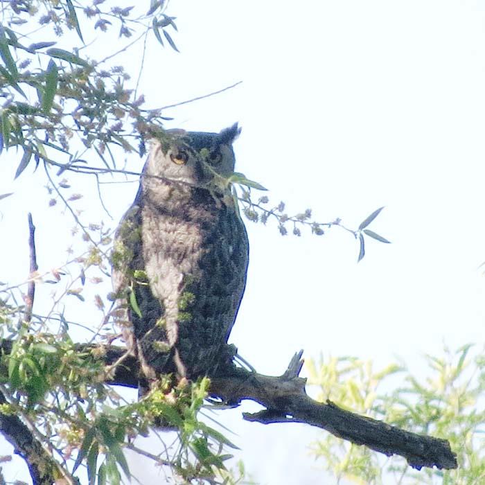 spring visit great horned owl