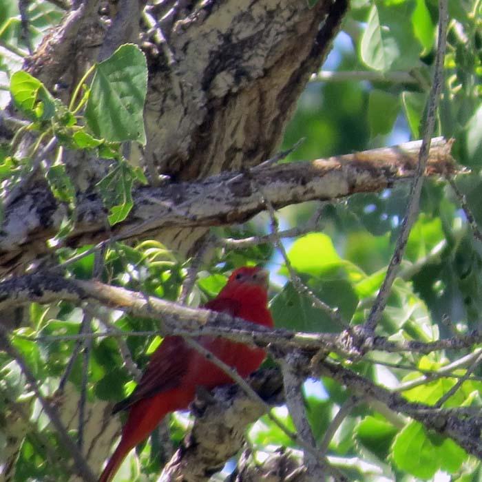 spring visit summer tanager