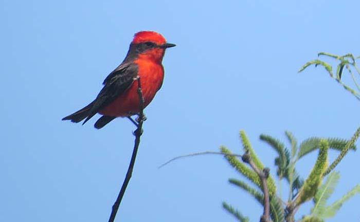 spring visit vermillion flycatcher