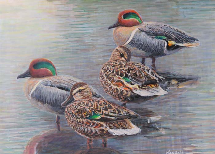 Green-winged Teal for curating