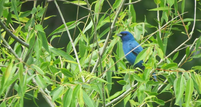 Nodak Indigo bunting for blog