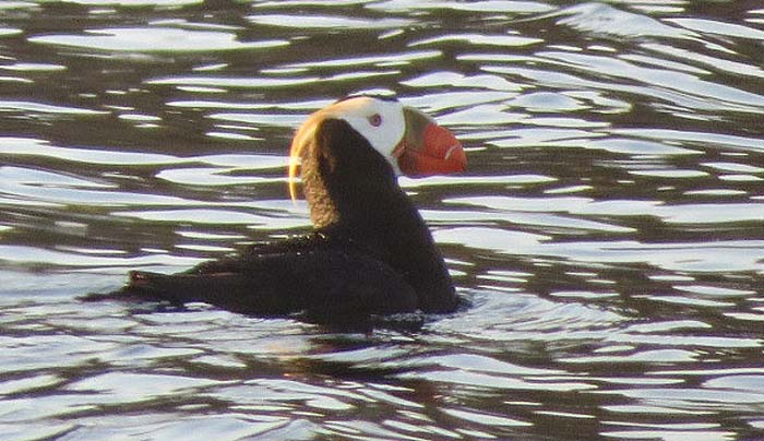 Protection-Island-blog-tufted-puffin2