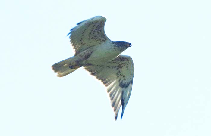 nodak Ferruginous Hawk for blog
