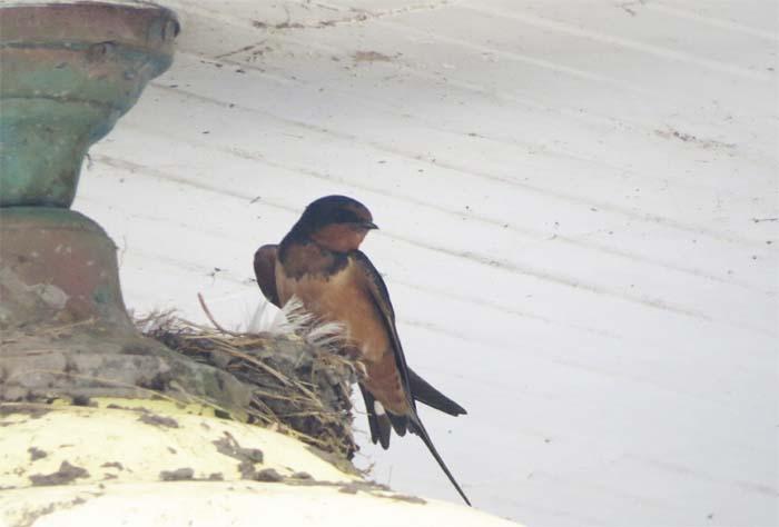 protection-Island-blog-barn-swallow1