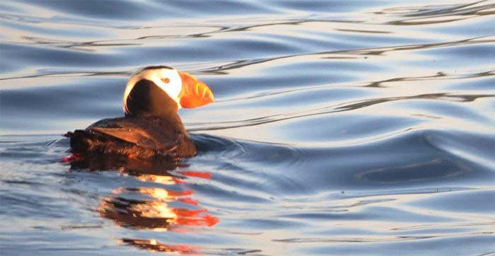 protection-island-blog-Tufted-Puffin