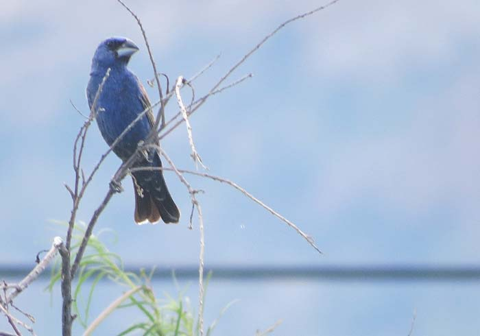 August rain blog Blue Grosbeak