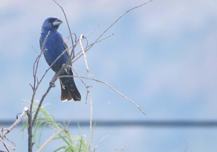 August rain blog Blue Grosbeak