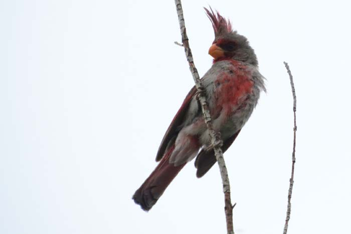August rain blog Pyrrhuloxia