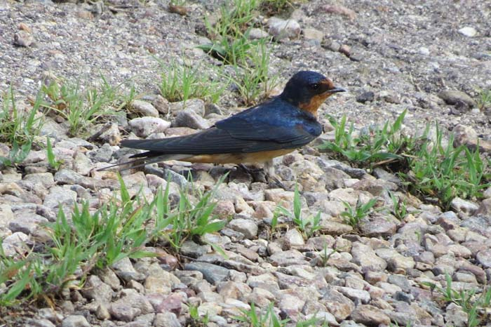 August rain blog barn swallow