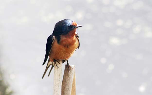 Barn Swallow nisq portrait for ws