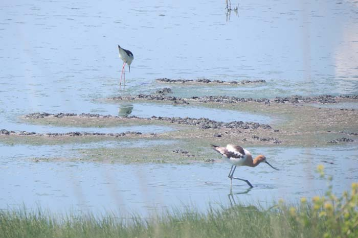 august rain blog avocet