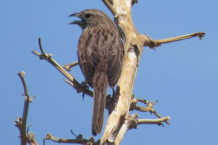 august rain blog botteri's sparrow