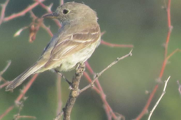 august rain blog gray flycatcher