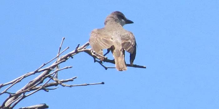august rain blog thick-billed kingbird