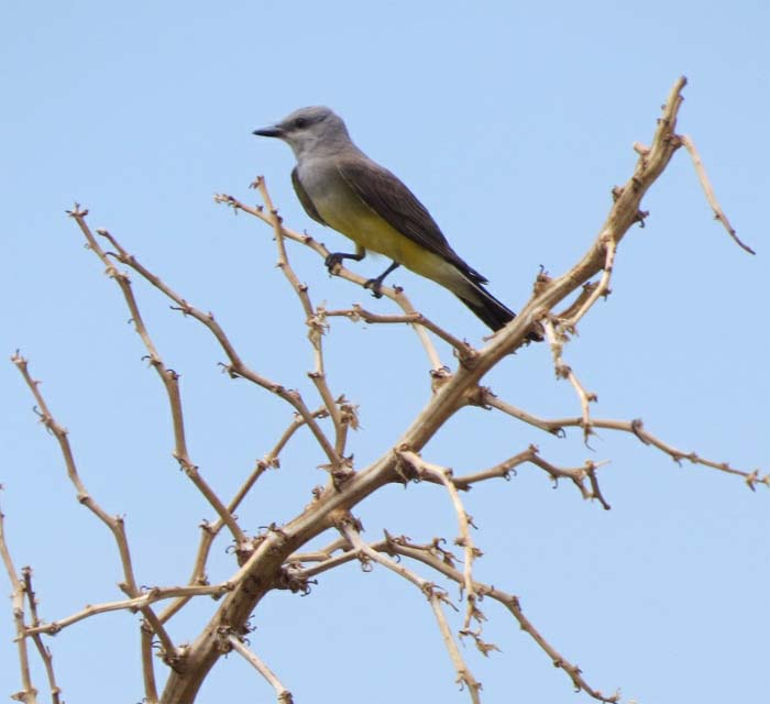 august rain blog western kingbird