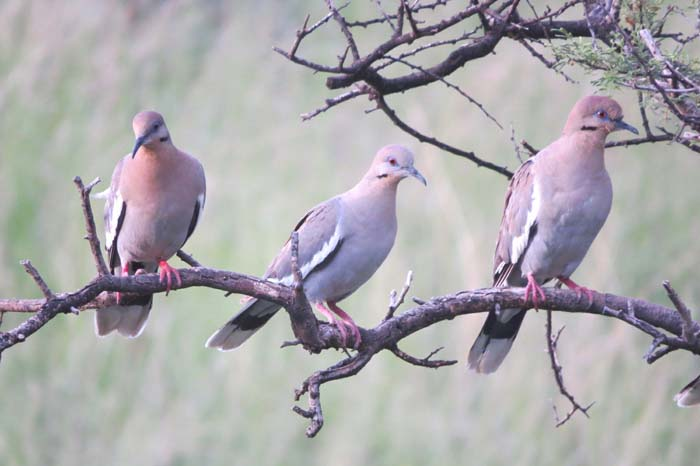 august rain blog white-winged doves