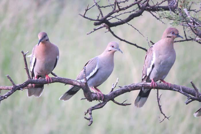 august rain blog white-winged doves