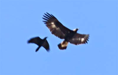 Golden Eagle and raven for ws