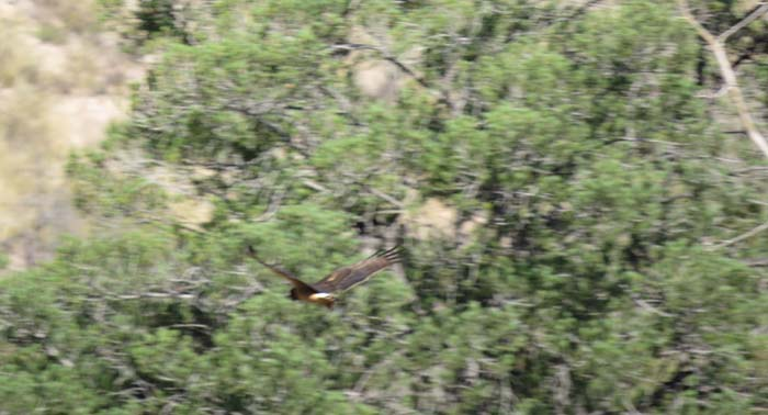 Northern Harrier in canyon for ws