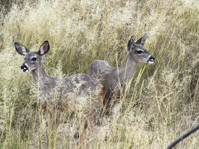 White-tail fawns for ws