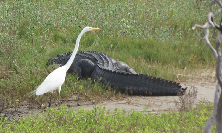 Texas 2015 Great Egret and alligator for ws