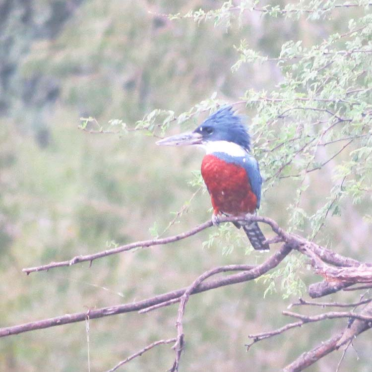 Texas 2015 Ringed Kingfisher 4 maybe best for ws