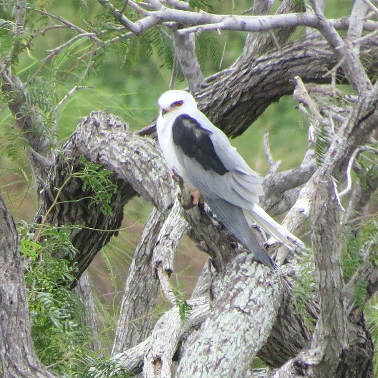 Texas 2015 White-tailed Kite for ws