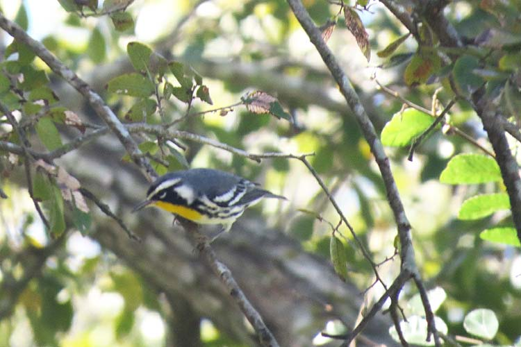 Texas 2015 Yellow-throated Warbler