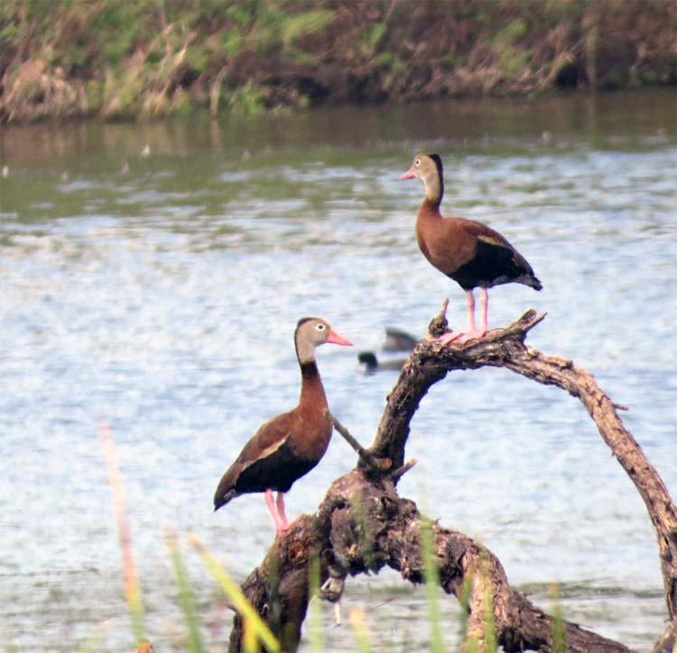 Texas 2015 black-bellied tree ducks for ws just two