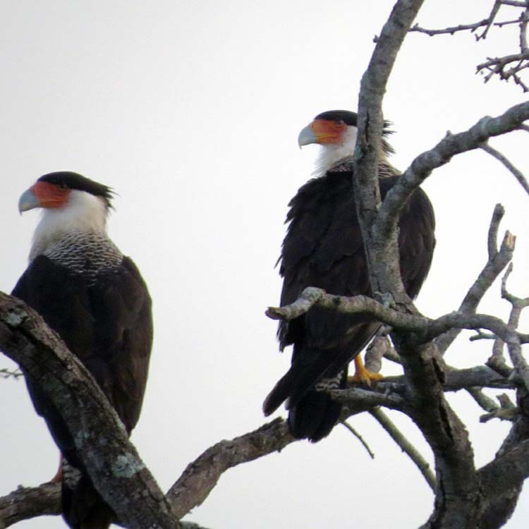 Texas 2015 crested caracara for ws