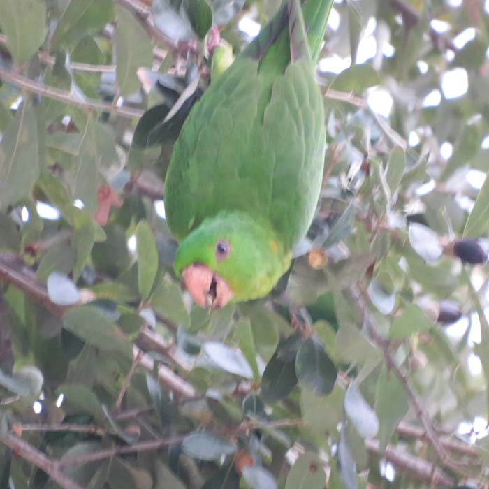 Texas 2015 green parakeet for ws