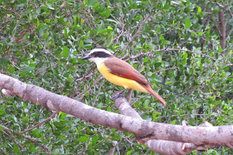 Texas 2015 kiskadee one for ws