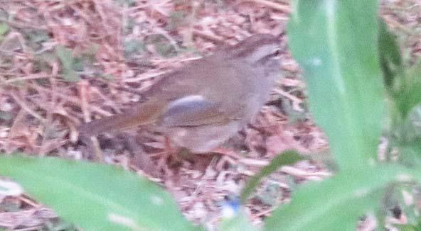 Texas 2015 olive sparrow