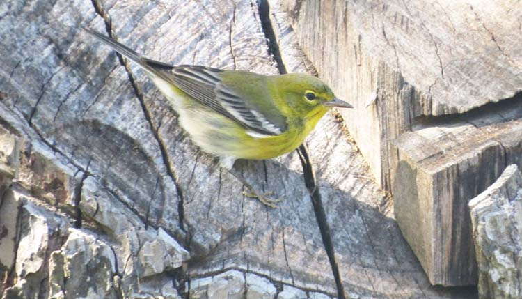 Texas 2015 pine warbler use this one for ws